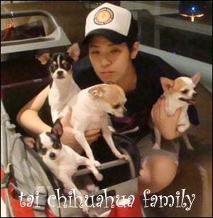 jin tai's chihuahua family