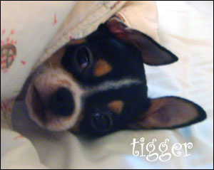 tigger the chihuahua