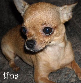 tina the chihuahua