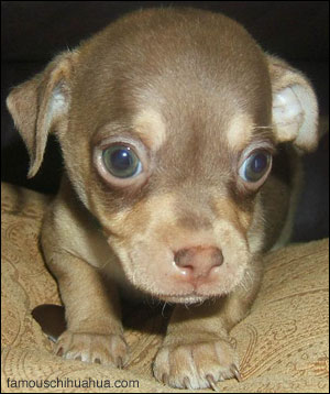baylee the chihuahua as a baby