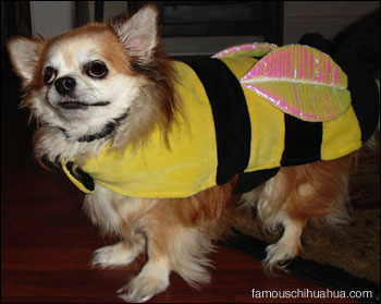 hobbit the chihuahua fashions his bumble-bee haloween costume