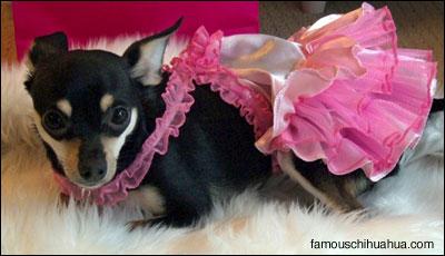 louis the chihuahua as a fairy princess