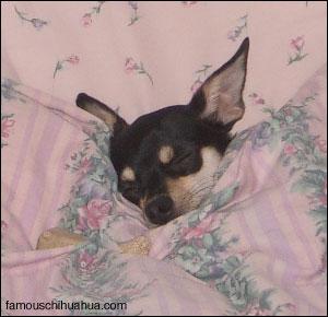 louis the bed hog chihuahua