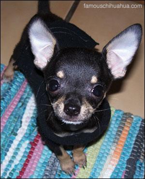 hola amigos! i am rambo the chihuahua!