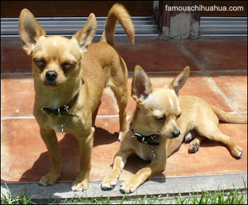 sibling chihuahuas, vicent and oliver