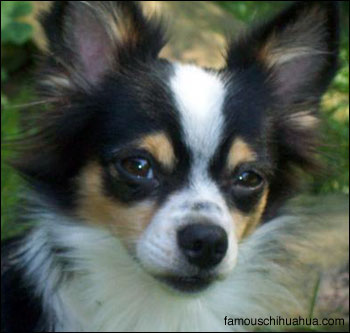 chalupe the chihuahua