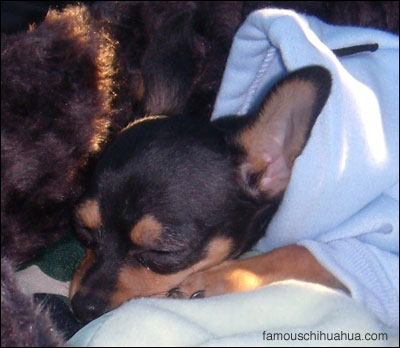 diesel the chihuahua sleeps