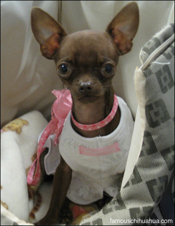 forever famous ruby the chihuahua