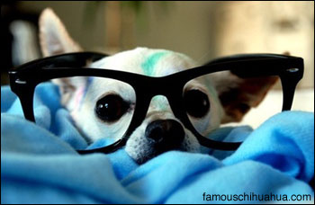 psy the four eyes chihuahua