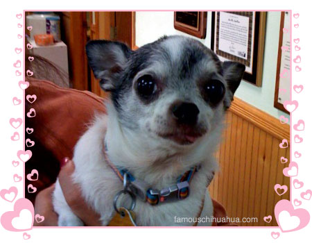 in loving memory of chooch the chihuahua. rest in peace.