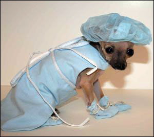 emma the miracle chihuahua in her scrubs