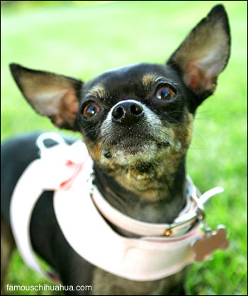 paris hilton the chihuahua poses pretty for mommy