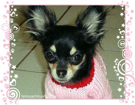 yoko ono, the camera-happy chihuahua