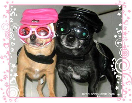 two hip chihuahuas chica and ebony