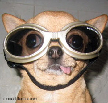 chica the chihuahua in her doggles