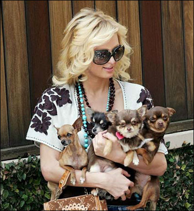 is paris hilton really to blame for the abandonded chihuahua epidemic?