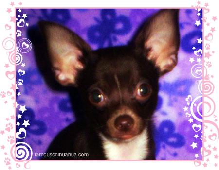 princeton the spunky chihuahua puppy