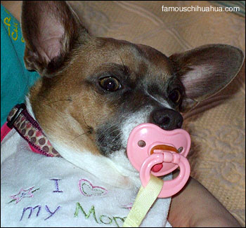 lola the chihuahua sucks on her pacifier!
