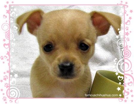 tyko the tiny chihuahua