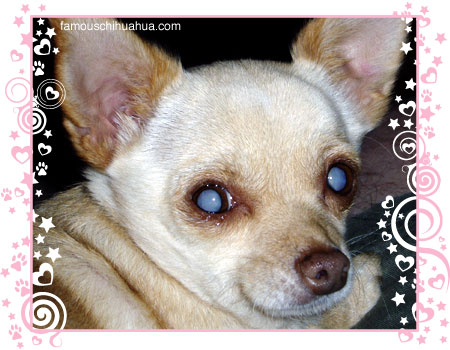 precious muffin the amazing blind chihuahua