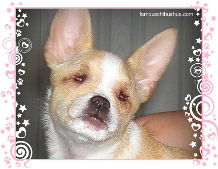 samson the miracle chihuahua born without eyes