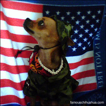shotzie la rue the patriotic chihuahua