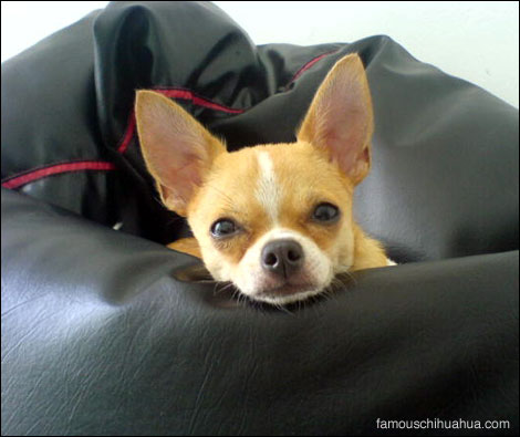 mr. brutis chan the short haired chihuahua
