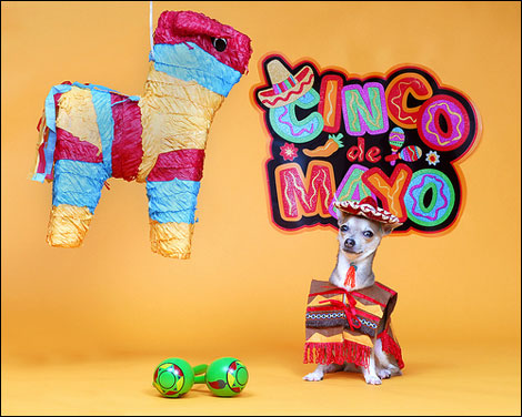 happy cinco de mayo! click the image to get this chihuahua party started!