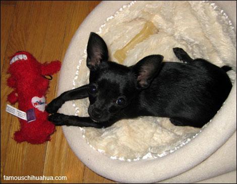 farfl the adorable black purebred chihuahua puppy