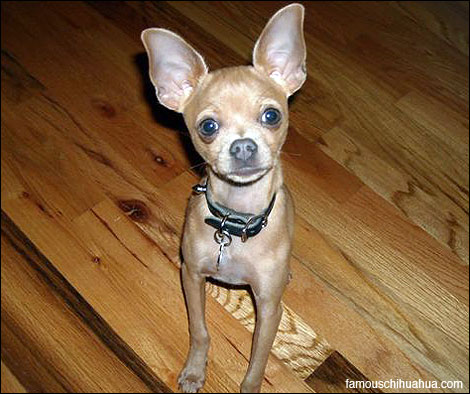 hector the mighty chihuahua