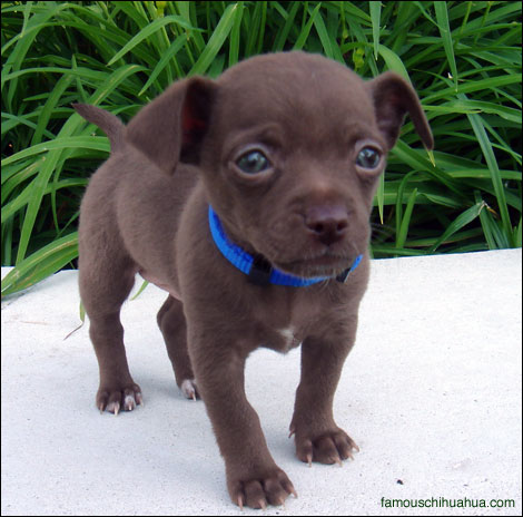 chocolate chihuahua puppy ilovufi pictures of long haired chihuahua puppies 658