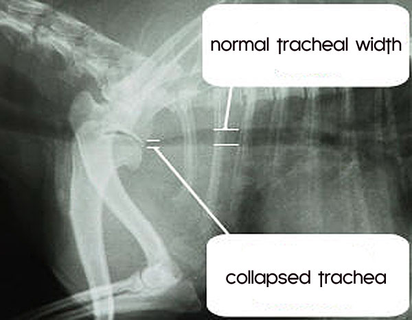 chihuahua trachea collapse