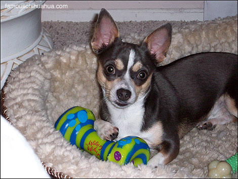 buster, the rescue chihuahua who can do tricks!