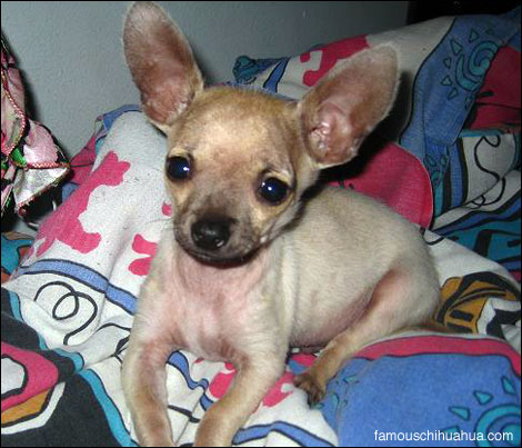 e.t., the miracle chihuahua that was hit by a car