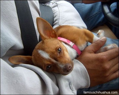 daddys little girl, sophia the chihuahua