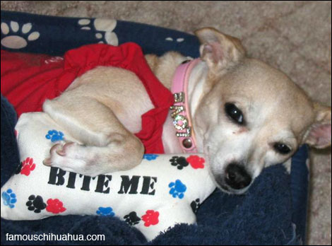 ms. bella the rescue chihuahua lives the good life now