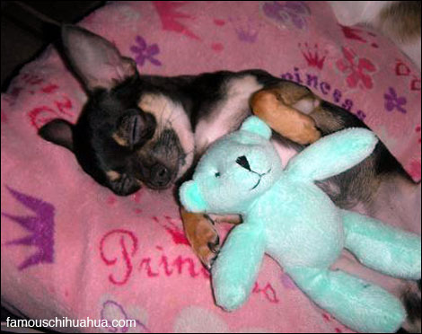 hannah the chihuahua all snug in her bed with her favorite mr. bear plush toy!