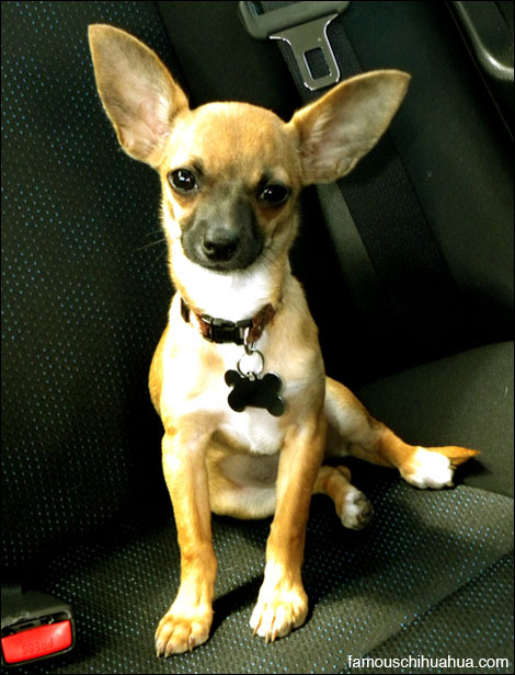 isabel the chihuahua puppy with big ears!