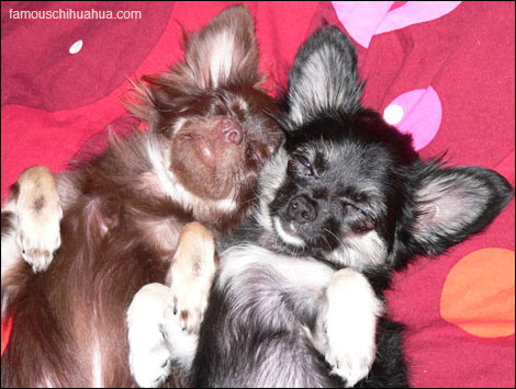 lucy and lulu, two long-haired chihuahuas from switzerland!