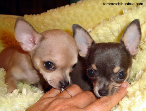 bella and tina, two adorable chihuahuas that once fit in the palm of your hand!