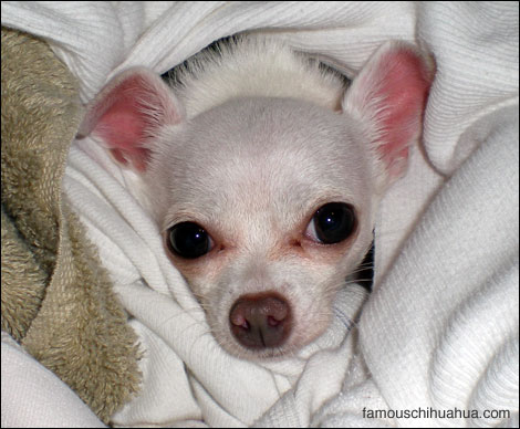 bebe, a teacup chihuahua that knows doggie sign language!