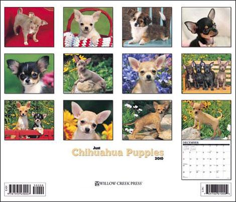 just chihuahua puppies calendar