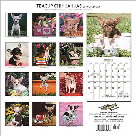 teacup chihuahua wall calendar
