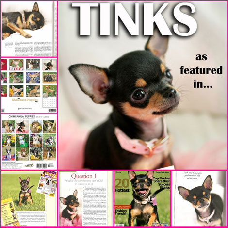 tinkerbell the famous chihuahua calendar girl