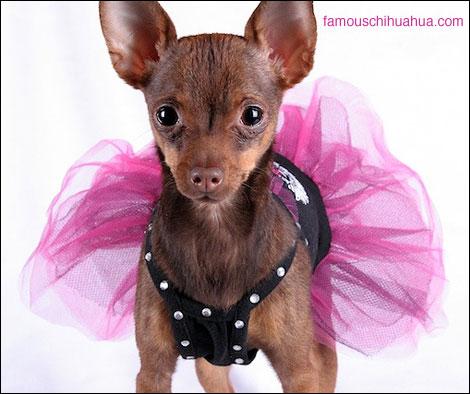 coco chanel the chihuahua fashionista diva extraordinaire!