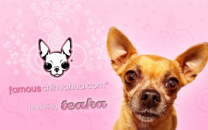 download free famous chihuahua wallpaper!