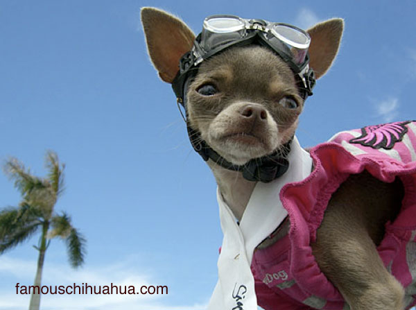 blue chihuahua in goggles
