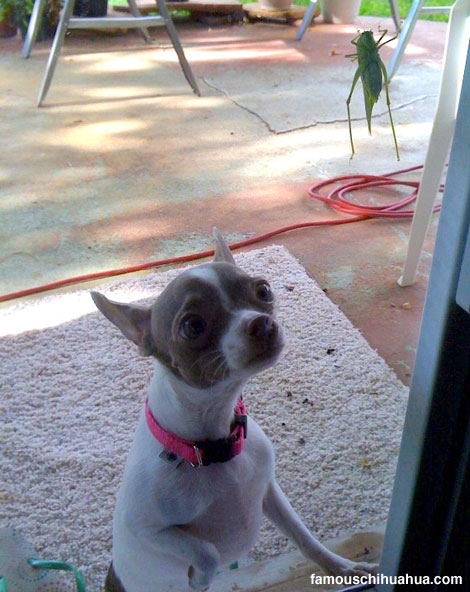 a priceless expression on the face of midget the chihuahua who works her little brain hard to figure out what this grasshopper is all about.