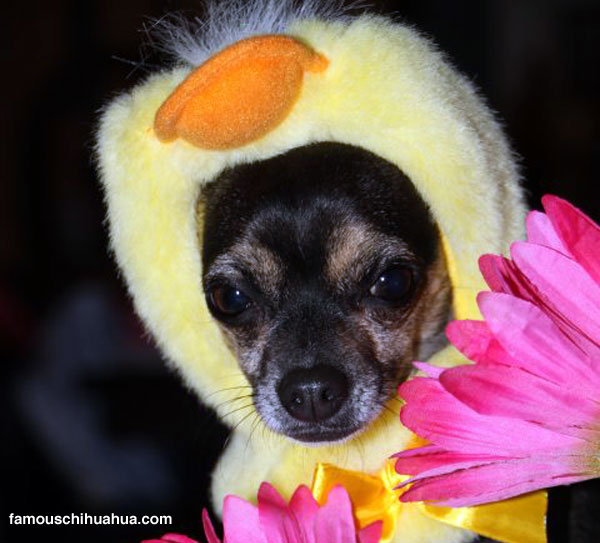 little priscilla the chick-a-dee chihuahua all dressed up for easter!