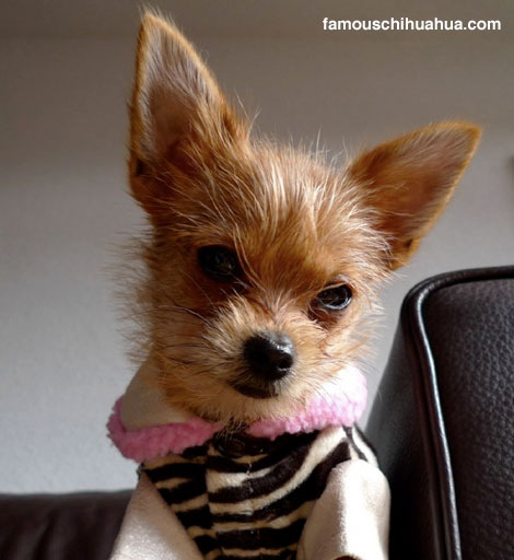 support roma the long-hair chihuahua as he rallies for equality among all chihuahuas!